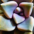The Sedum Succulent by Steve Taylor