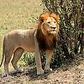 King Of The Savannah by Aidan Moran