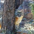 The Shy Fox by Jim Garrison