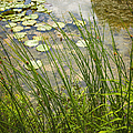 The Side Of The Lily Pond by Margie Hurwich
