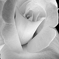 The Silver Rose In Portrait by Jennie Marie Schell