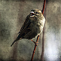 The Singing Sparrow by Janice Pariza
