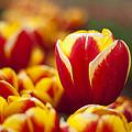 The Single Big Tulip by Ewan Arnolda
