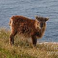 The Soay Sheep  by Rob Hawkins