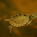 The Southeastern Map Turtle