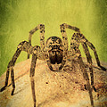 The Spider Series X by Marco Oliveira