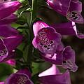The Splendor Of Foxgloves by Georgia Mizuleva