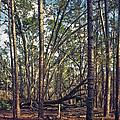 The Split Oak. by Chris  Kusik