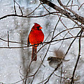 Blue Eyes In The Snow Cardinal  by Betsy Knapp