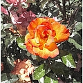 The Spring Rose by Glenn McCarthy Art and Photography