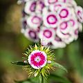 The Star - Beautiful Spring Dianthus Flowers In Bloom. by Jamie Pham