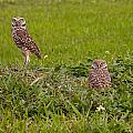 The Stares Of The Burrowing Owls by John M Bailey