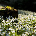 The Stump And The Snowdrops by Anne Gilbert