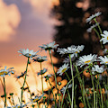 The Sun Sets Over Daisies  Astoria by Robert L. Potts