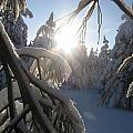 The Sun Through Snowy Branches by Jessica Wolf