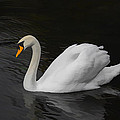 The Swan by David Gleeson
