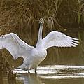The Swan Spreads Its Wimgs by Jeff Swan