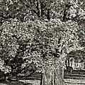 The Swinging Tree Sepia by Steve Harrington