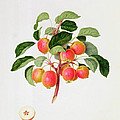 The Tartarian Crab Apple by William Hooker