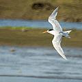 The Tern Sq by Ernie Echols