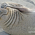 The Thinker - Elephant Seal On The Beach by Tap On Photo