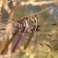 The Three Dragonflies  by Saija  Lehtonen