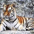 The Tiger by Jelena Jovanovic