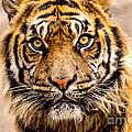 The Tiger by Terri Morris