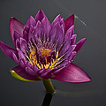The Tiny Dragonfly On A Water Lily by Samantha Eisenhauer