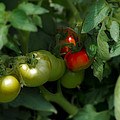 The Tomato Plant by Bill Cannon