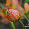 The Tulip Bud by Living Color Photography Lorraine Lynch