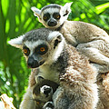 The Twins - Ring-tailed Lemurs by Margaret Saheed