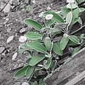 The Untouchable Plant by Steve Taylor