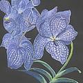 The Vanda Orchid by Carol Wisniewski