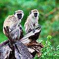 The Vervet Monkey. Lake Manyara. Tanzania. Africa by Michal Bednarek