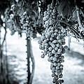 The Vineyard   Bw by David Morefield