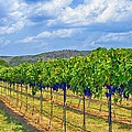The Vineyard In Color by Kristina Deane