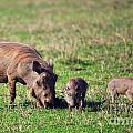 The Warthog Family On Savannah In The Ngorongoro Crater. Tanzania by Michal Bednarek