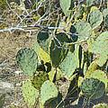 Cedar Park Texas Prickly Pear Cactus by JG Thompson
