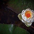 The Water Lily by Linda Unger