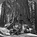 The Wawona Giant Sequoia Tree by Underwood Archives