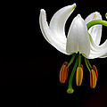 The White Form Of Lilium Martagon Named Album by Torbjorn Swenelius