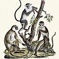 The White-nosed Monkey by Splendid Art Prints