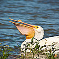 The White Pelican by Robert Frederick