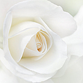 The White Rose Flower by Jennie Marie Schell