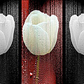 The White Tulip by Mother Nature
