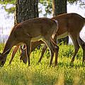 The Whitetail Deer Of Mt. Nebo - Arkansas by Jason Politte