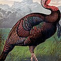 The Wild American Turkey Cock by Ludlow