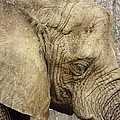 The Wise Old Elephant by Nikki Watson    McInnes