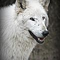 The Wolf. by Valerie Stein